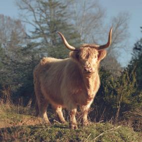 cow_1